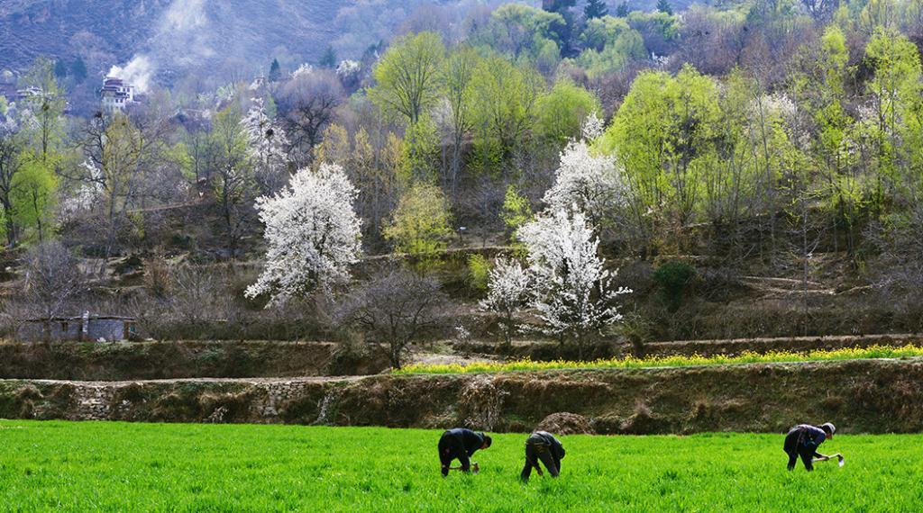 在四川竟私藏着一片最美梨花仙境?一到春天,它就惊艳了整个世界