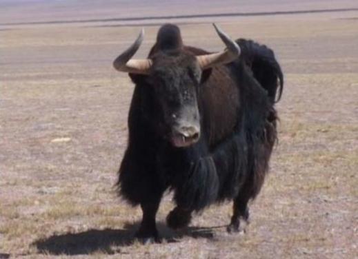 西藏自治区林业厅的统计数据显示,在西藏这片120余万平方公里的土地上,生活着125种国家一、二级重点保护动物,其中100余种为濒危野生动物。如今,西藏各类濒危野生动物种群数量均得到恢复性增长,动物王国的繁荣景象正在重现。 西藏广阔多变的地域、丰富多样的植被,孕育出种类繁多的野生动物。西藏有野生脊椎动物795种,大中型野生动物数量居全国首位,野生动物种群居全国第三位。 西藏野生动物研究专家刘务林介绍,上世纪80年代,由于藏羚羊皮毛在国际市场上的昂贵价格,致使其遭到毁灭性捕杀,数量从原来的20万只锐减到不足