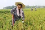 河南光山:种一次收两茬再生水稻效益好