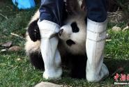 """抱大腿网红熊猫""""奇一"""""""
