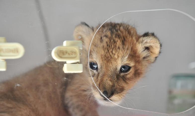云南野生动物园新添小狮子 呆萌可爱